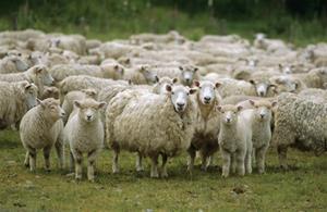 Sheep Supplies